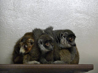 Lemur family at Lemur Duke Center © hanjeanwat