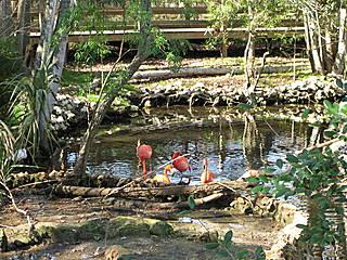 Flamingos im Homosassa Springs Wildlife State Park. © rachelcoyne