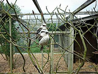 Jägerlieste im Hamerton Zoo Park. © StuBez
