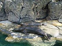 Robben im Waikiki Aquarium. © ErgoSum88